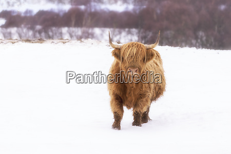 united kingdom scotland highlands highland cattle
