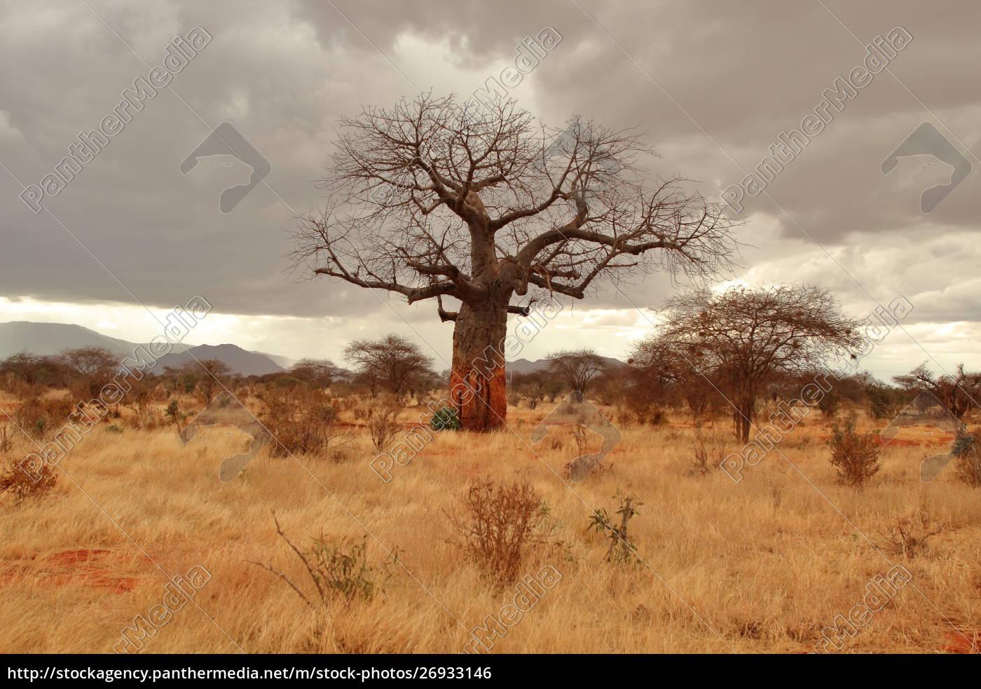 baobab, in, der, kenianischen, savanne - 26933146