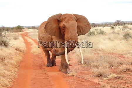 ein, elefant, geht, auf, felduneinigestraße - 26933147