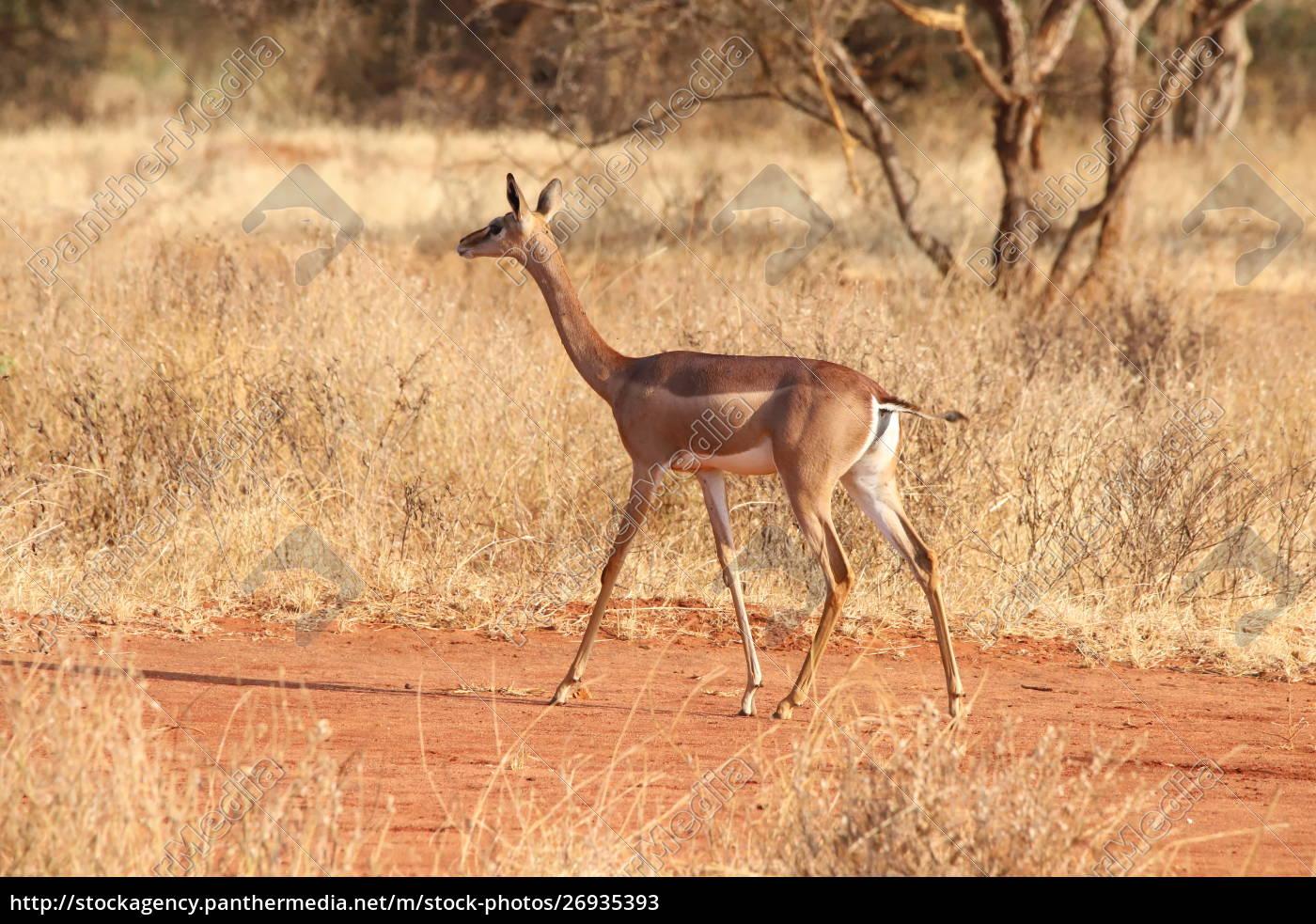 gerenuk, in, kenia, - 26935393