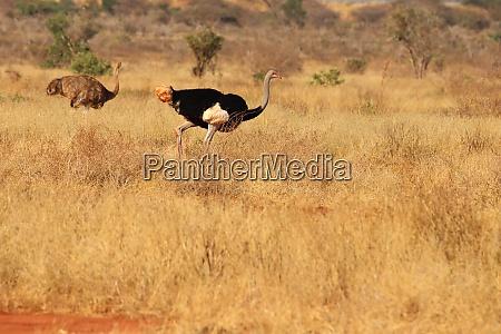 somalisches, straußenpaar, in, der, savanne, kenias - 26936453