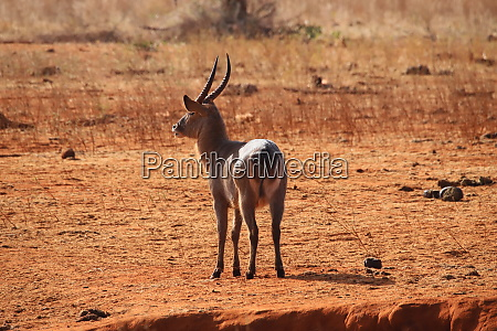 the, common, waterbuck, is, recognizable, at - 26936458