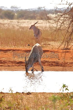 two, eland, antelopes, at, a, water - 26936459