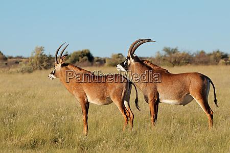 roan antelopes in natural habitat