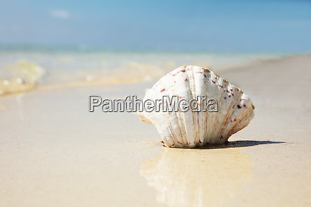 scallop seashell on the reflective sand