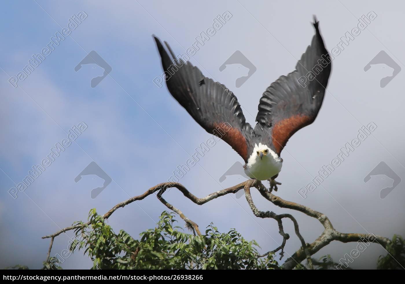 afrikanischer, seeadler, im, flug - 26938266
