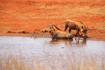 two, warthogs, takes, a, bath, in - 26938069