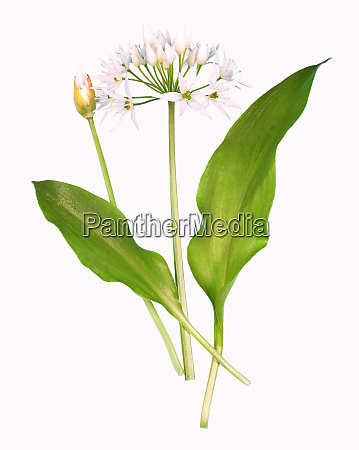 wild garlic plant isolated