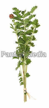 salatburnet frisches kraut isoliert