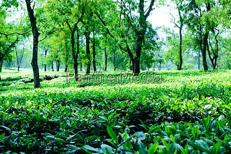 tea plantation in asam india