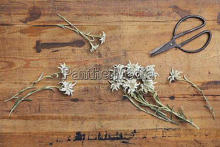 edelweiss und schere auf holz