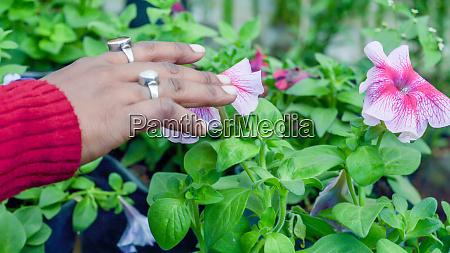 junge dame hand beruehren petunia blumenpflanzen