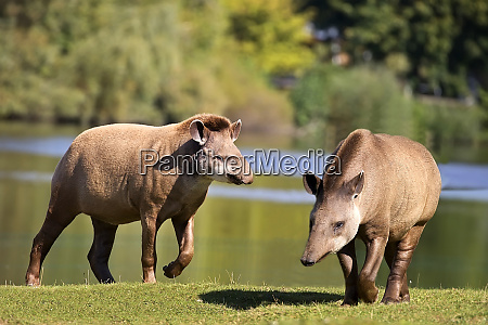 tapirs in a clearing