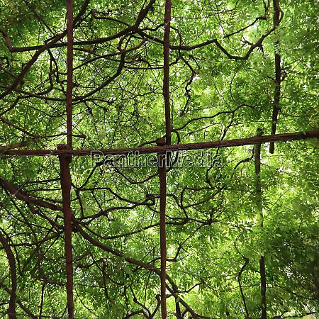 green vines overhead