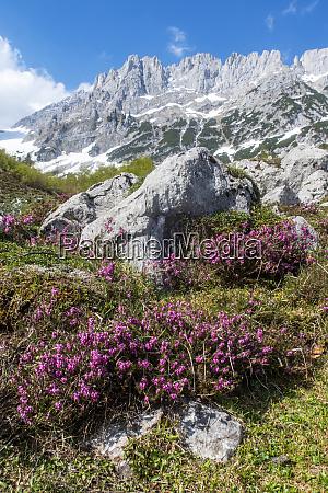 blume am wilderen kaisergebirge in OEsterreich
