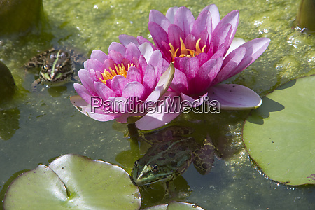 pink water lily nymphea hybrid and