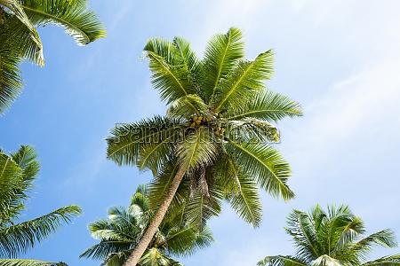 coconut palm trees anse marie loise