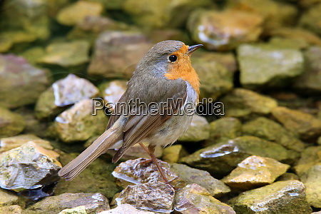 redthroat erithacus rubecula at the bathing