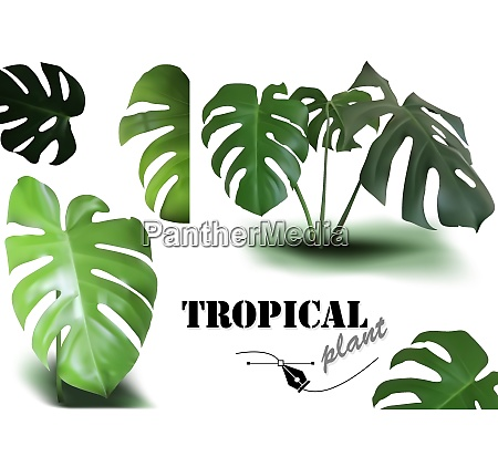 tropical monstera leaves