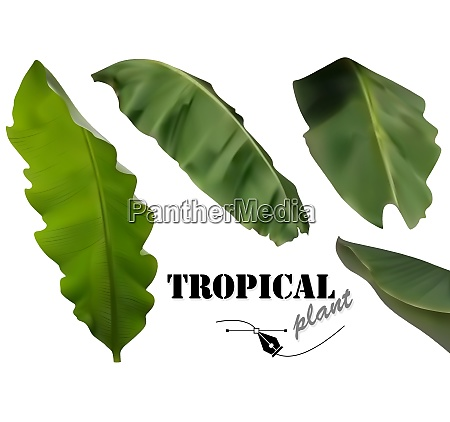 tropical banana palm leaves