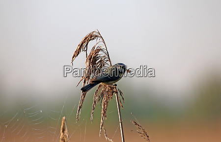 blue cyanistes caeruleus on reeds with