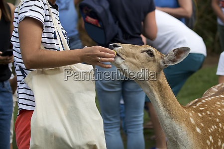 fallow deer eating from the hand