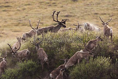 caribou wandern durch das arctic national