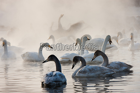 cygnus cygnus whooper swans on a