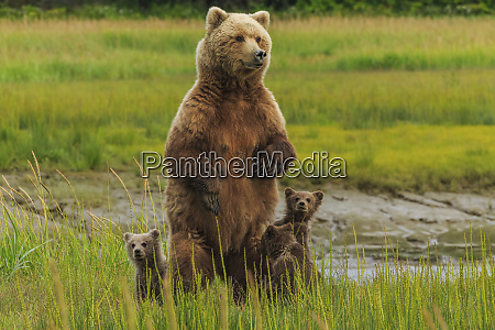 brown bear sow and cubs lake