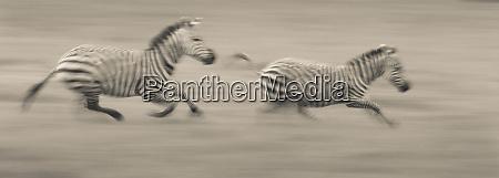 zwei zebras in ngorongoro tansania rasen