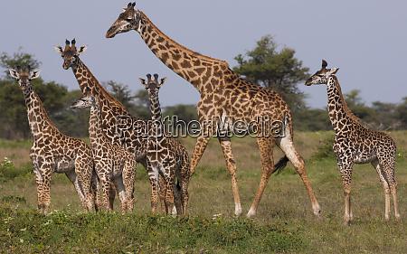 eine kleine gruppe masai giraffe im