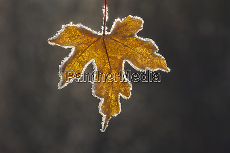 a brown frosted maple leaf with