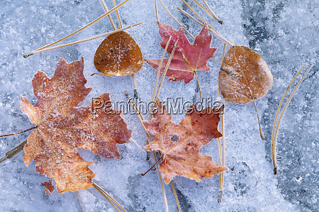 maple and aspen leaves in autumn