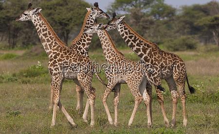 eine kleine gruppe von masai giraffe