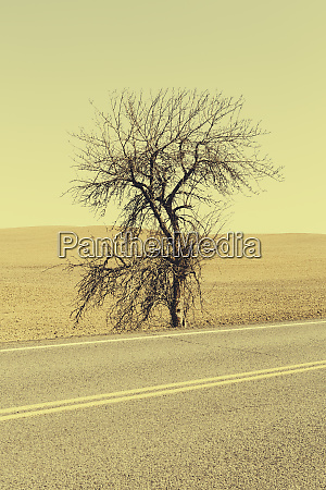 a cottonwood tree at the roadside