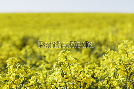 a field of yellow flowering blooming