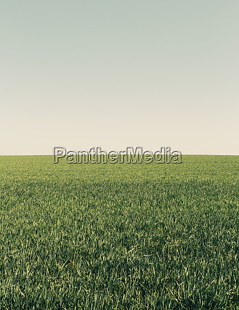lush green wheat crop growing in