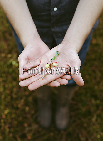 eine cranberry farm in massachusetts kulturen