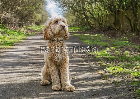 portrait of a golden doodle dog