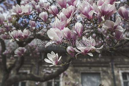 bluehender magnolia baum