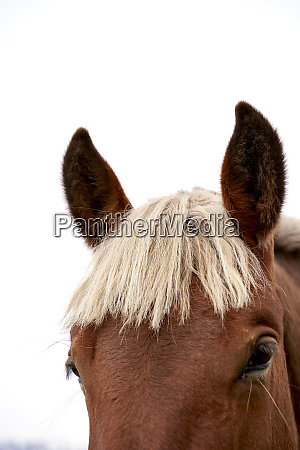 kopf des pferdes vor weissem hintergrund