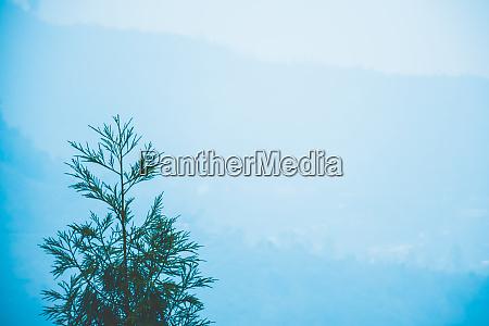 hillside douglas fir tree pseudotsuga menziesii