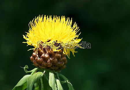 big headed knapweed in the garden