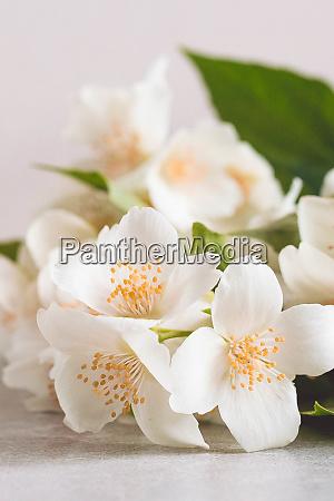 blossoming tender jasmine white flower on