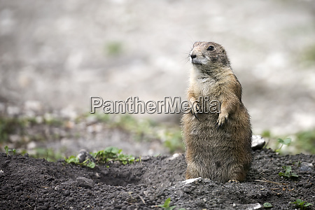 european ground squirrel in a clearing