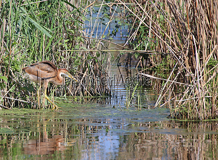 young purple heron ardea purpurea as