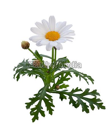 schoene weisse gaensebluemchen mit knospen und