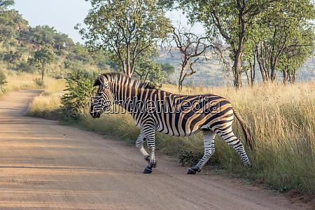 burchels zebra ueberquert eine strasse