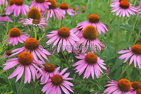 purple flowering sham sun hat or