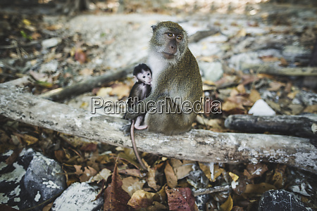 macaque holding young macaque on log